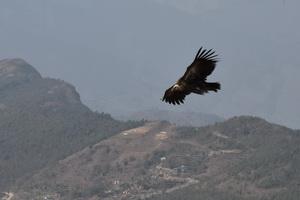Орел Непала